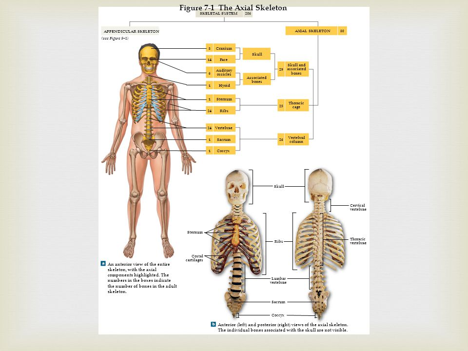 Chapters 7 And 8 Axial And Appendicular Skeletons Ppt Download