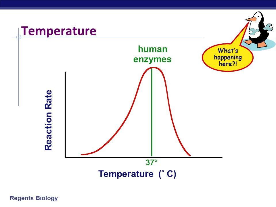 Temperature human enzymes Reaction Rate Temperature ( ̊ C) 37°