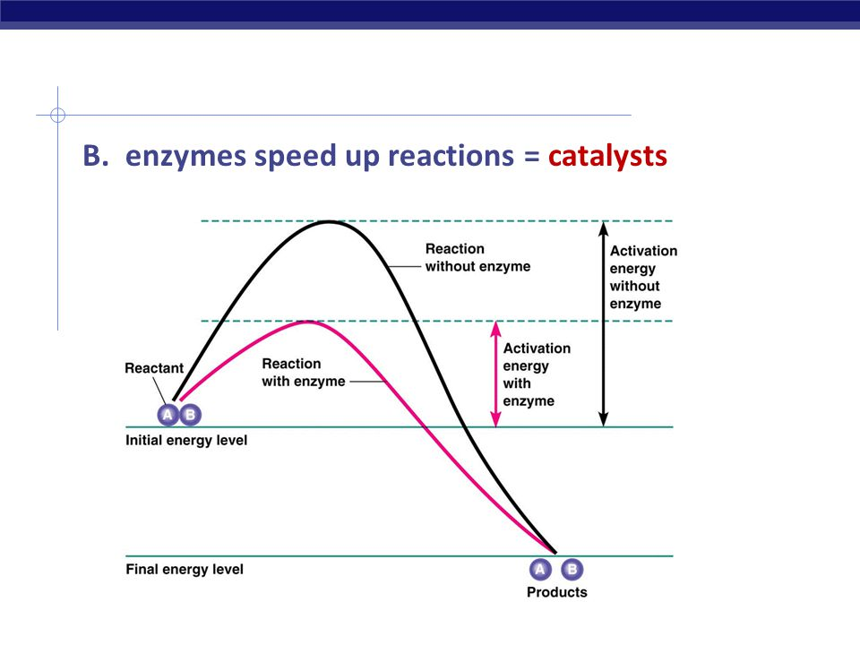 B. enzymes speed up reactions = catalysts