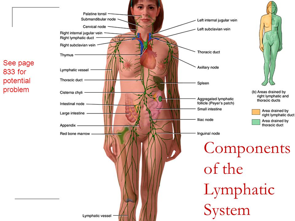 Chapter 22: The Lymphatic System and Immunity - ppt download