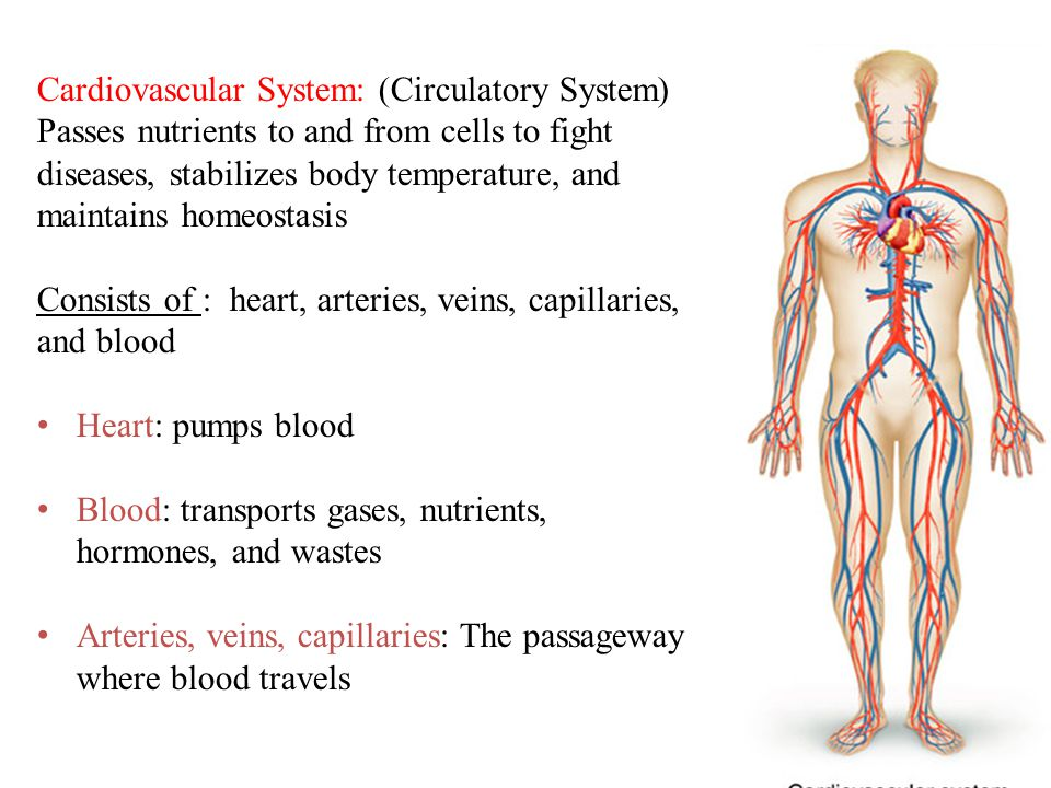 Cardiovascular System: (Circulatory System) Passes nutrients to and from cells to fight diseases, stabilizes body temperature, and maintains homeostasis