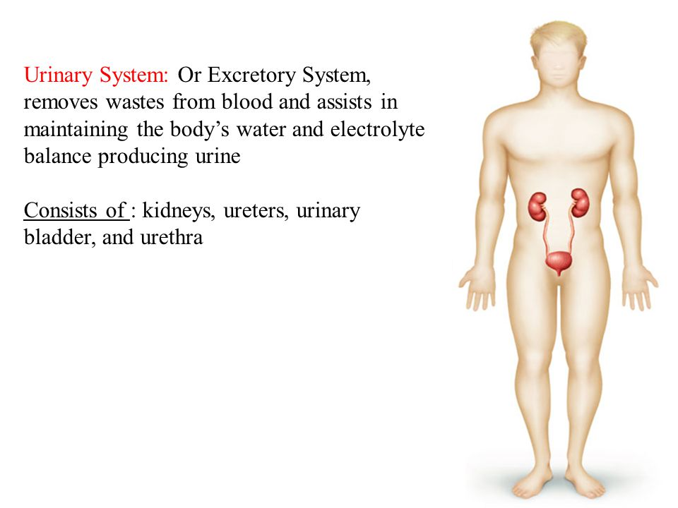 Urinary System: Or Excretory System, removes wastes from blood and assists in maintaining the body's water and electrolyte balance producing urine