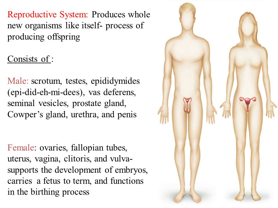 Reproductive System: Produces whole new organisms like itself- process of producing offspring