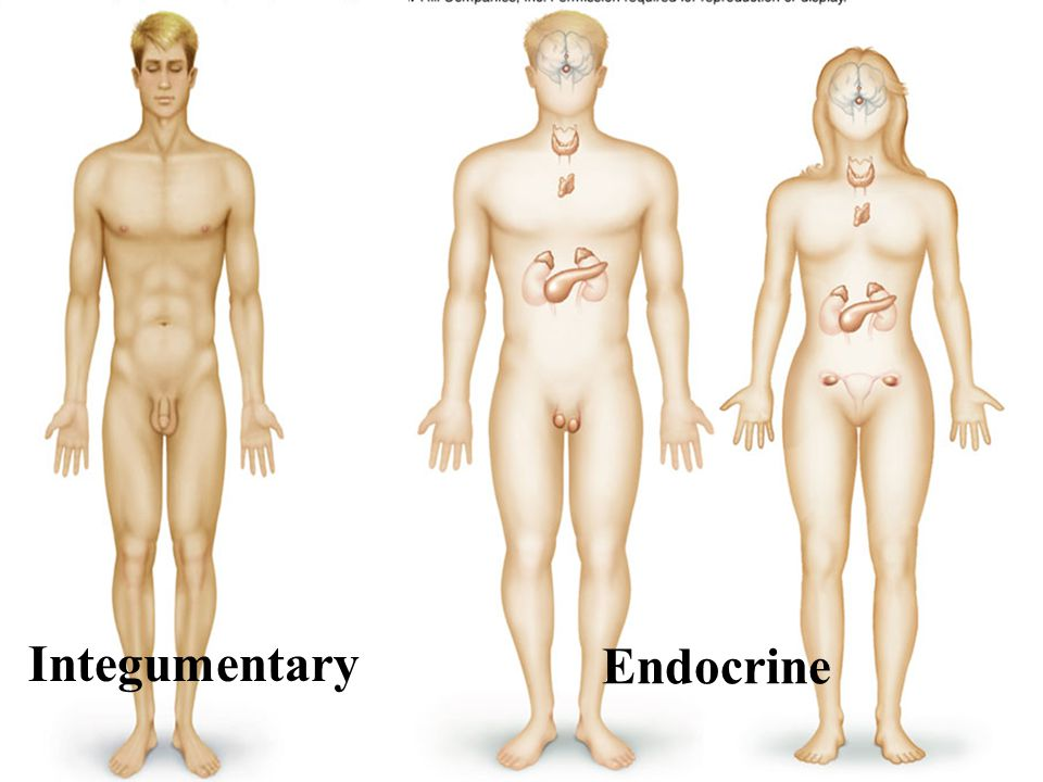 Integumentary Endocrine