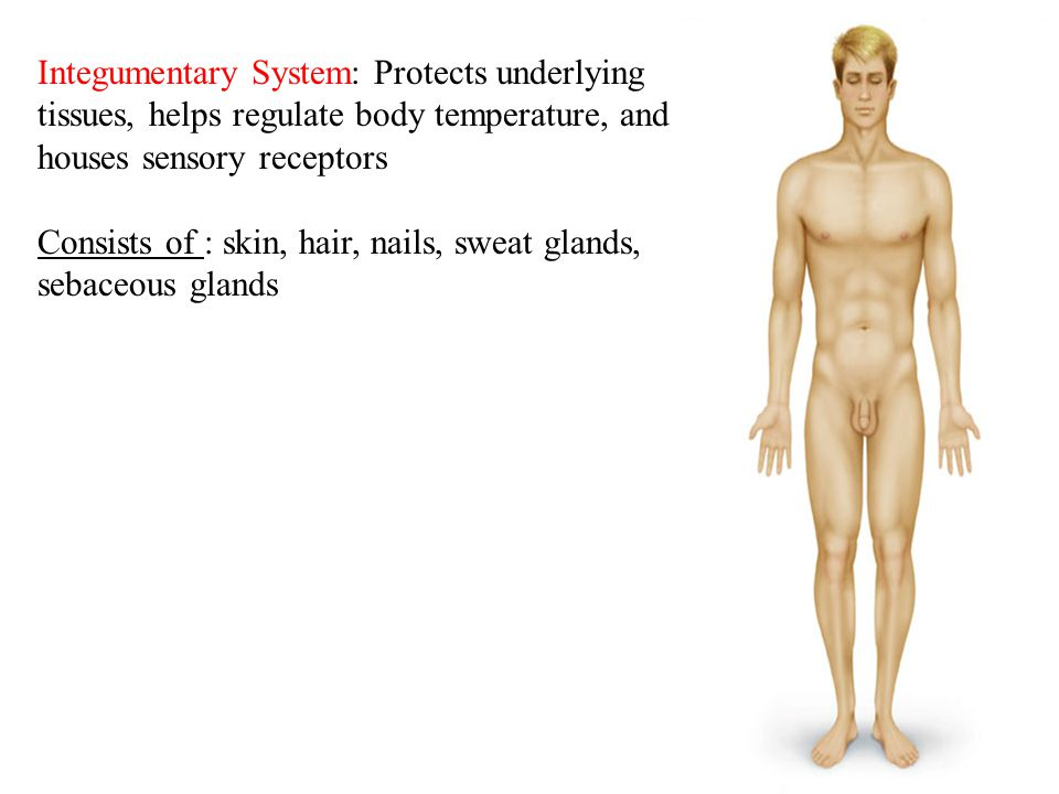 Integumentary System: Protects underlying tissues, helps regulate body temperature, and houses sensory receptors