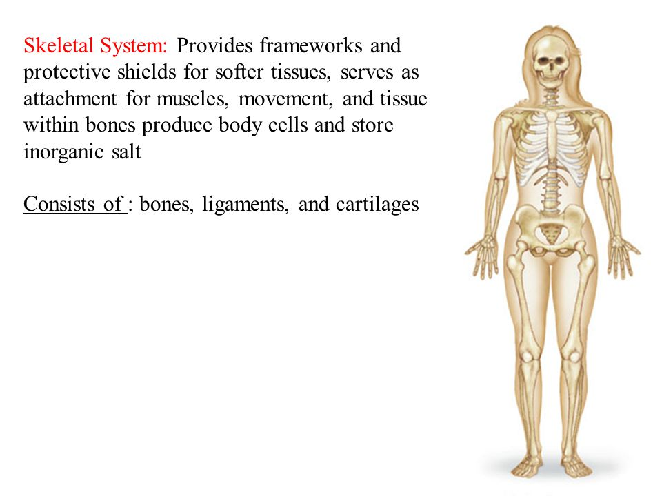 Skeletal System: Provides frameworks and protective shields for softer tissues, serves as attachment for muscles, movement, and tissue within bones produce body cells and store inorganic salt