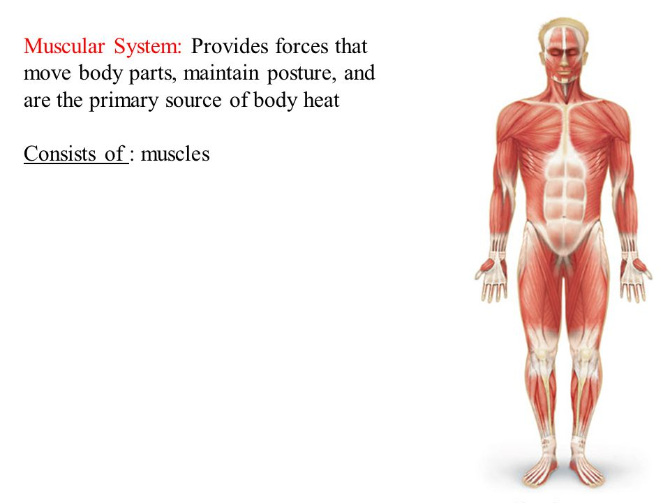 Muscular System: Provides forces that move body parts, maintain posture, and are the primary source of body heat