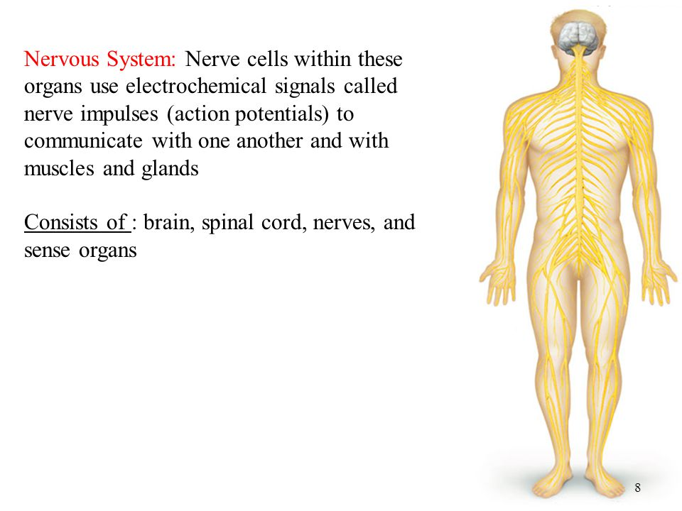 Nervous System: Nerve cells within these organs use electrochemical signals called nerve impulses (action potentials) to communicate with one another and with muscles and glands