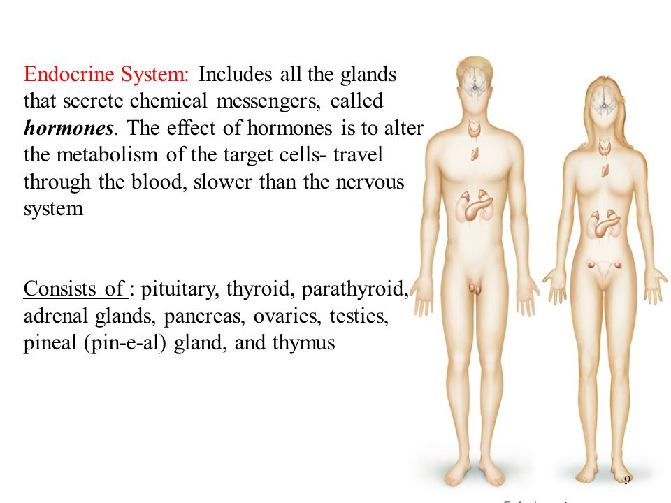 Endocrine System: Includes all the glands that secrete chemical messengers, called hormones. The effect of hormones is to alter the metabolism of the target cells- travel through the blood, slower than the nervous system