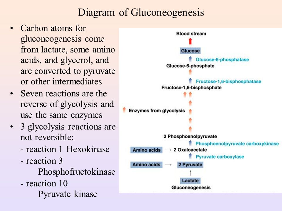 Diagram For Gluconeogenesis Trusted Wiring Diagram