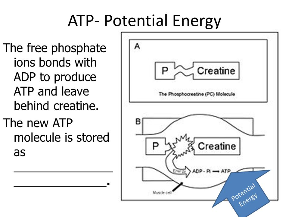 ATP- Potential Energy The free phosphate ions bonds with ADP to produce ATP and leave behind creatine.