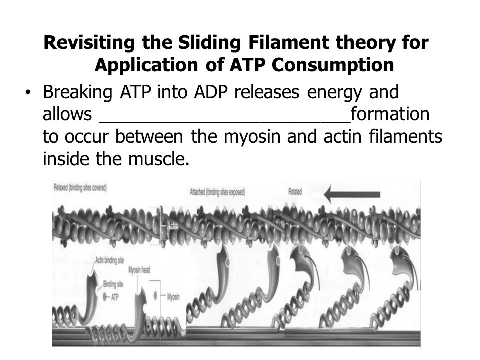 Revisiting the Sliding Filament theory for Application of ATP Consumption