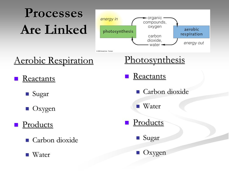 How are the processes of photosynthesis and aerobic respiration linked