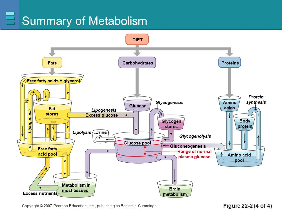 Summary of Metabolism Figure 22-2 (4 of 4) Carbohydrates Fats