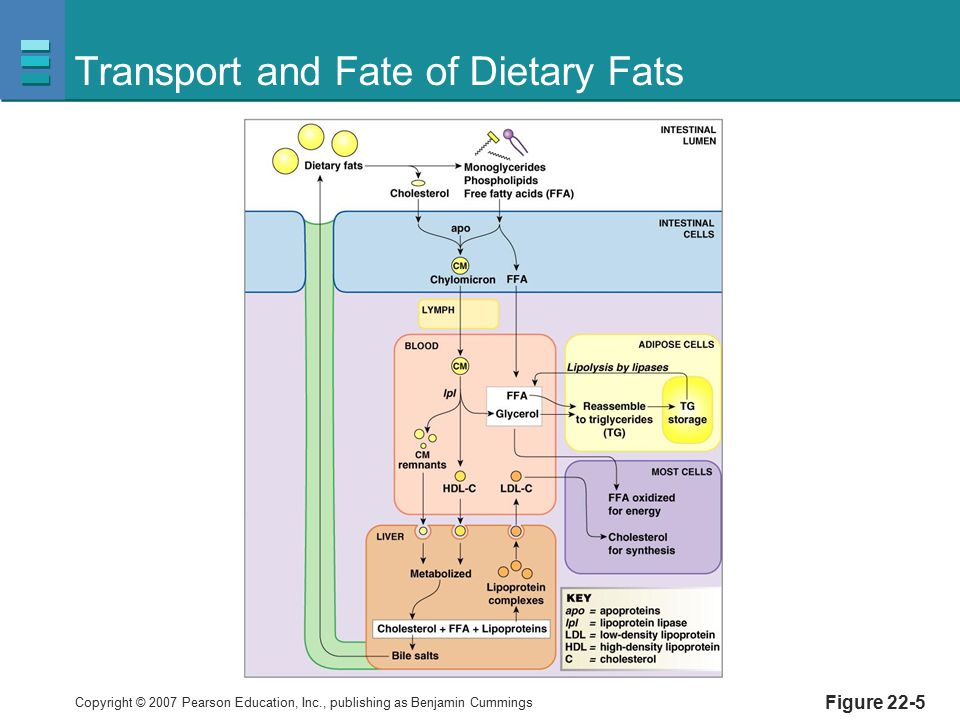 Transport and Fate of Dietary Fats