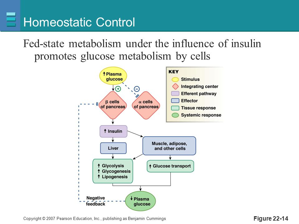 Homeostatic Control Fed-state metabolism under the influence of insulin promotes glucose metabolism by cells.