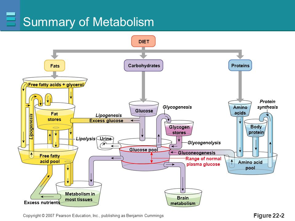 Summary of Metabolism Figure 22-2 Carbohydrates Fats