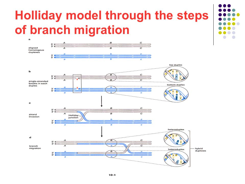Homologous recombination at the molecular level ppt video online 5 holliday ccuart Images