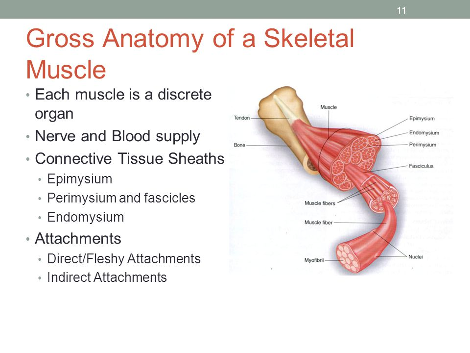 Muscles and Muscle Tissue - ppt video online download