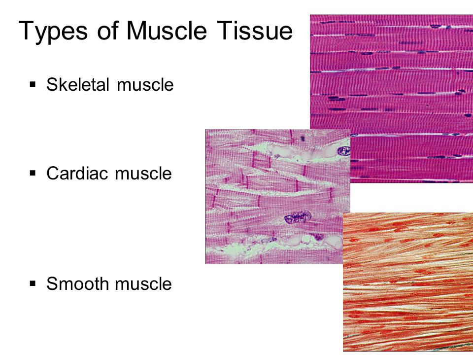Muscle Histology Ppt Download