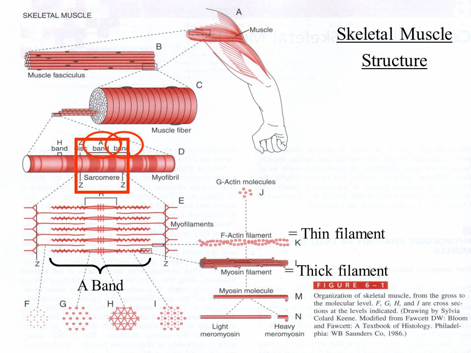 structure of skeletal muscle and locomotion biology essay Skeletal muscle properties: excitability responsiveness to stimulus -exhibits electrical and mechanical responses structure of skeletal muscle/connective tissue covering: perimysium surrounds bundles of muscle fibers - wraps muscle fibers together in bundles called fascicles.