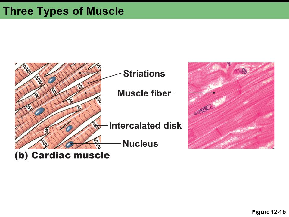 Chapter 12a Muscles Ppt Video Online Download