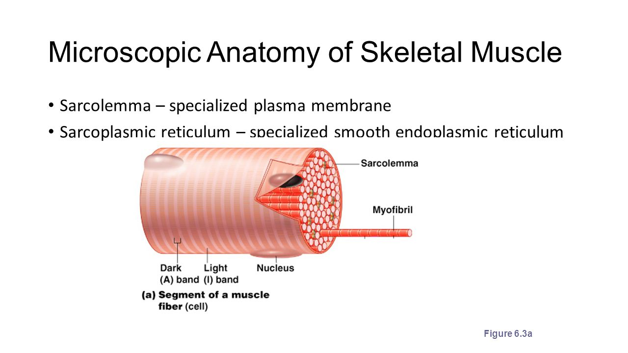 The Muscular System. - ppt download
