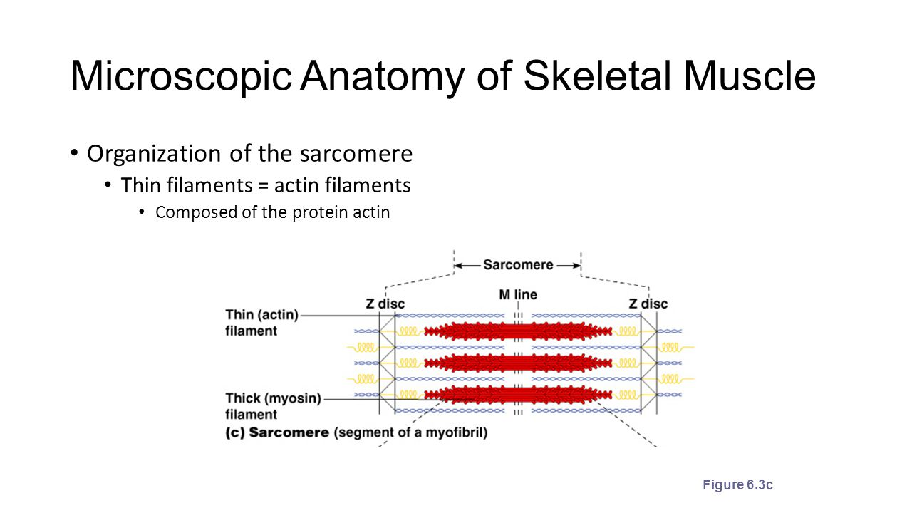 Microscopic Anatomy And Organization Of Skeletal Muscle Images ...