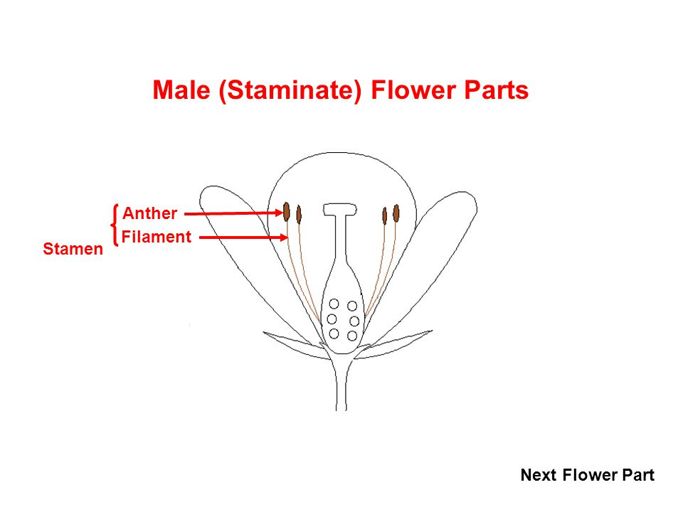 Angiosperm perfect flower ppt video online download male staminate flower parts ccuart Choice Image