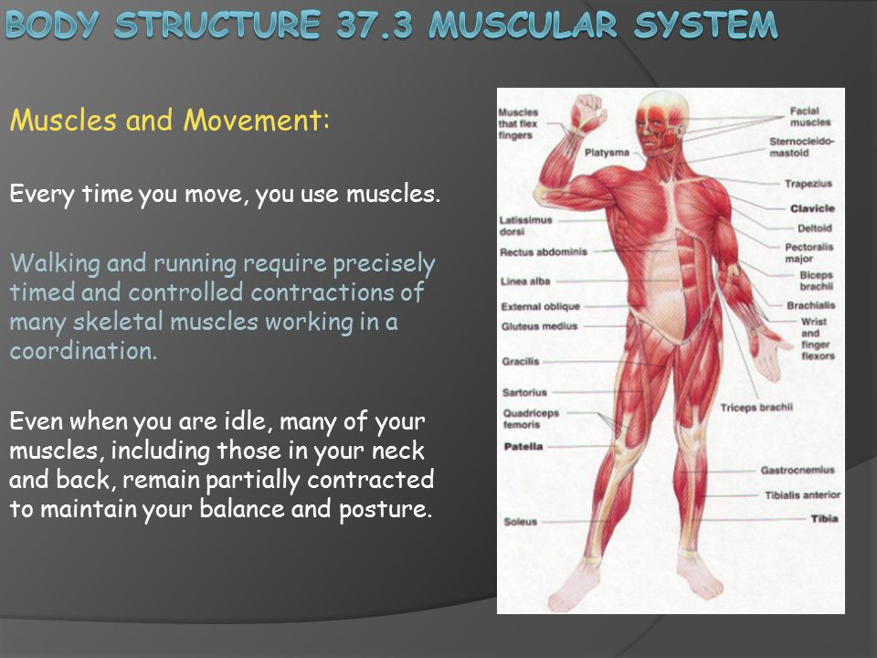 Body Structure 373 Muscular System Ppt Video Online Download