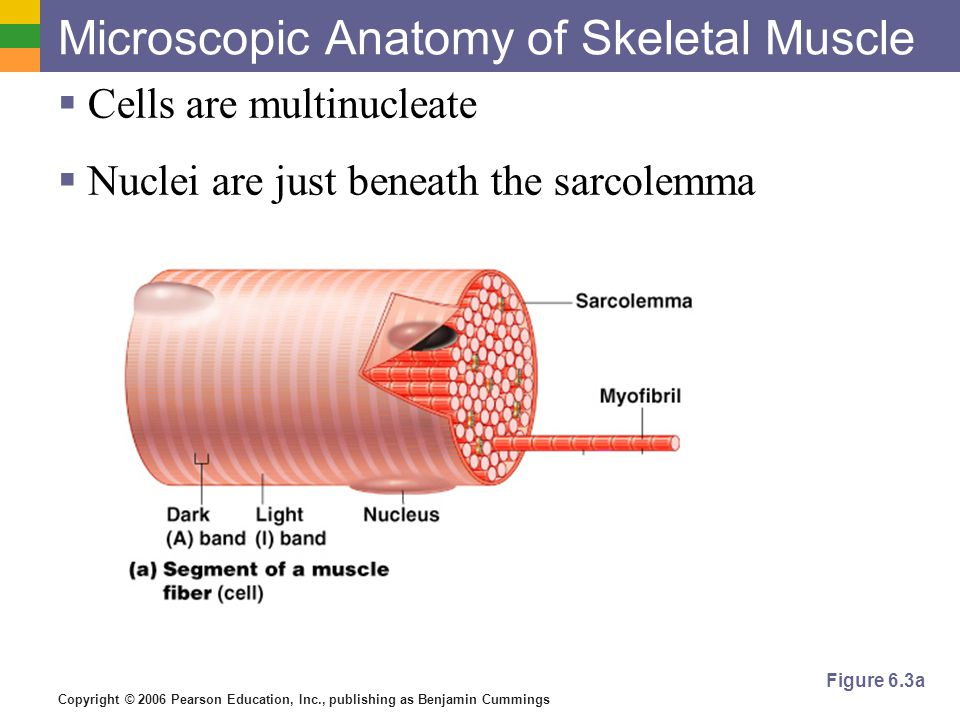 Luxury Anatomy Of A Muscle Cell Photo - Anatomy And Physiology ...