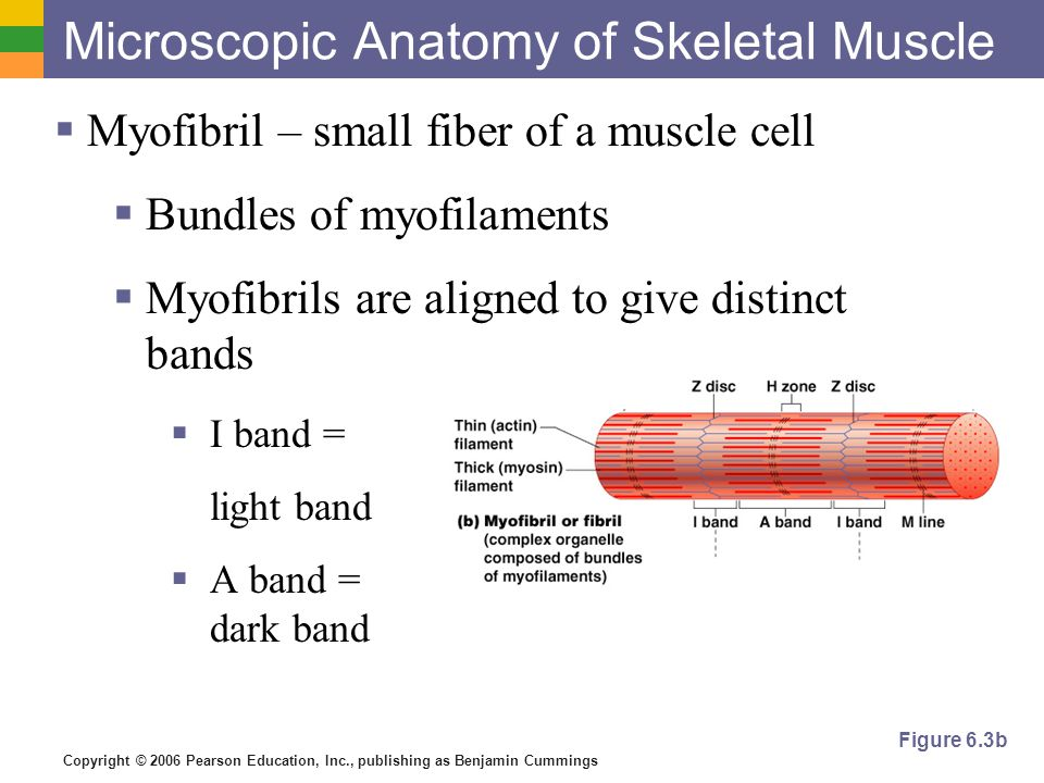 Objective 3 Describe and diagram the microscopic structure of ...