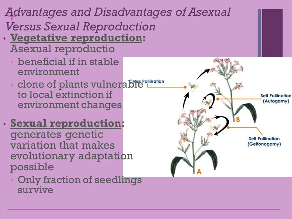 Self fertilization vs asexual reproduction pictures