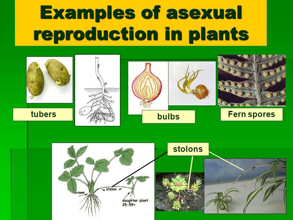 Plant runners asexual reproduction in humans