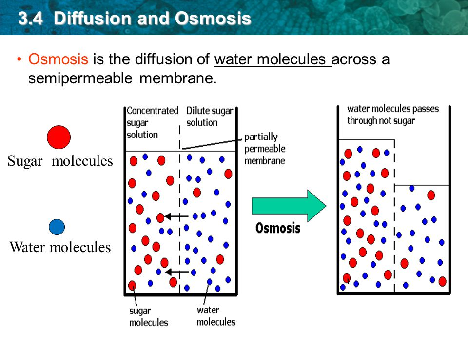 osmosis permeable membrane