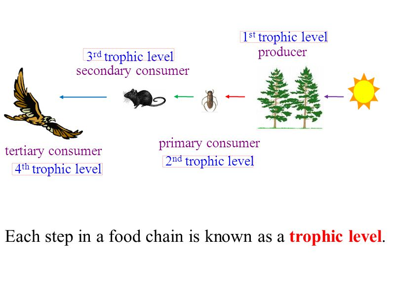 Each step in a food chain is known as a trophic level.