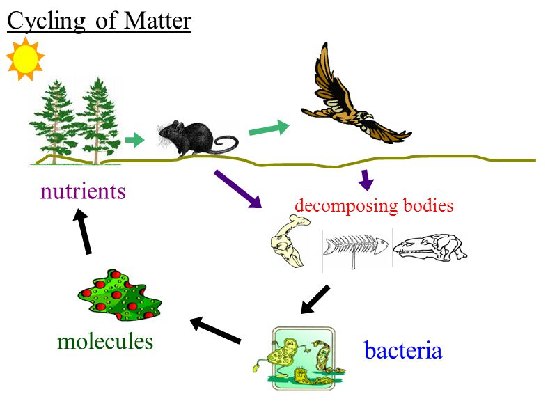 Cycling of Matter nutrients decomposing bodies molecules bacteria