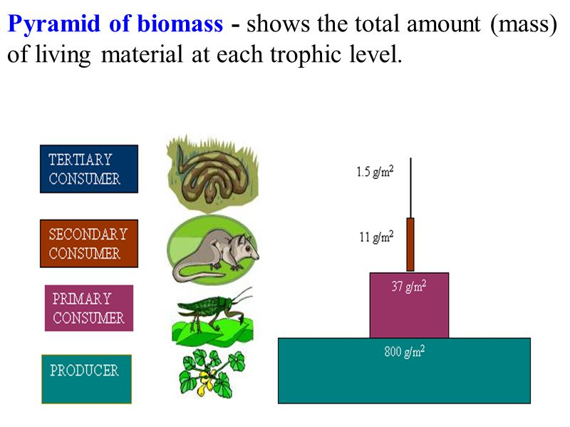 Pyramid of biomass - shows the total amount (mass) of living material at each trophic level.