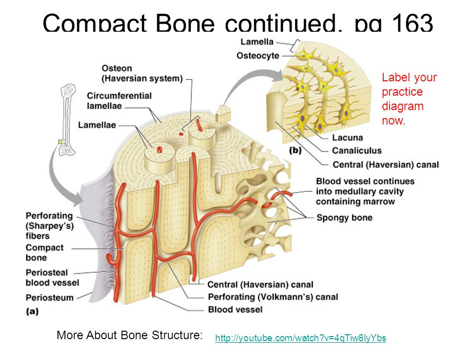Chap 6 Bones Skeletal Tissue Ppt Video Online Download