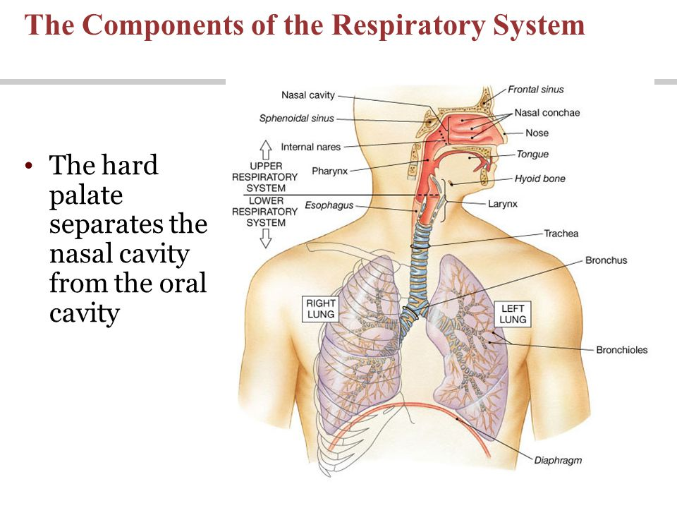 Lecture 23 The Respiratory System Ppt Download