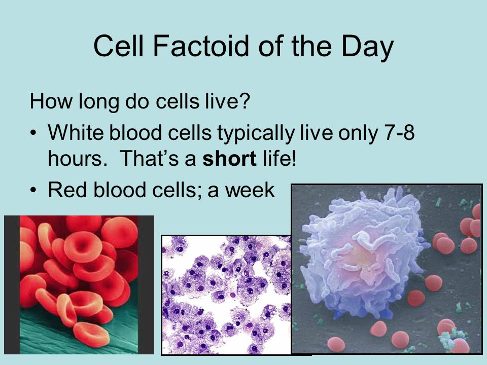 2 Cell Factoid Of The Day How Long Do Cells Live