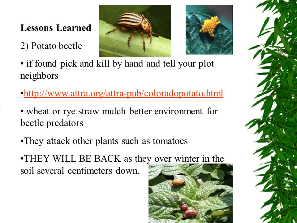 Lessons Learned 2) Potato beetle. if found pick and kill by hand and tell your plot neighbors.