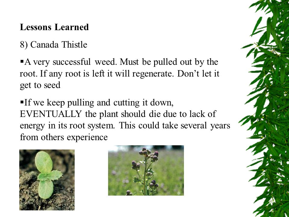 Lessons Learned 8) Canada Thistle.