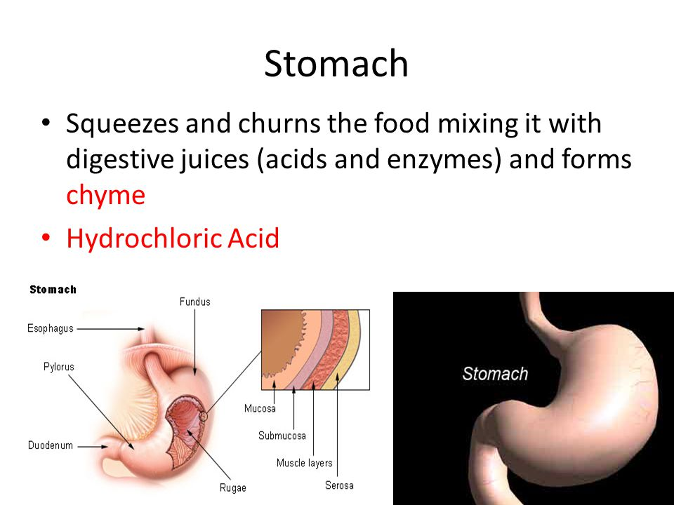 Stomach Squeezes and churns the food mixing it with digestive juices (acids and enzymes) and forms chyme.