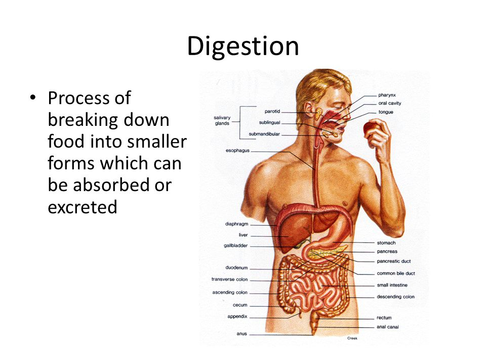 Digestion Process of breaking down food into smaller forms which can be absorbed or excreted