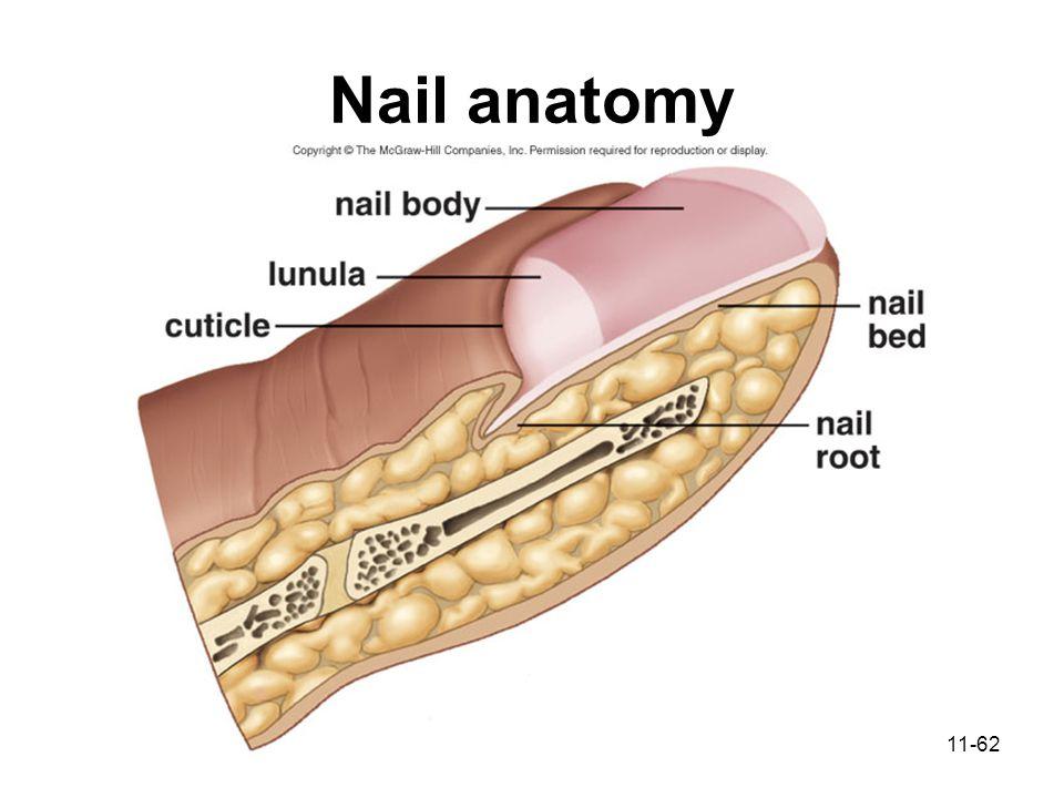 Modern Human Nail Anatomy Embellishment Anatomy And Physiology