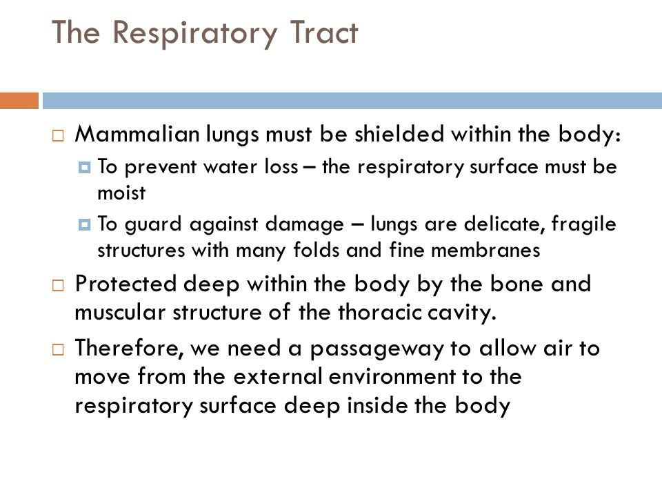The Respiratory Tract Mammalian lungs must be shielded within the body: To prevent water loss – the respiratory surface must be moist.