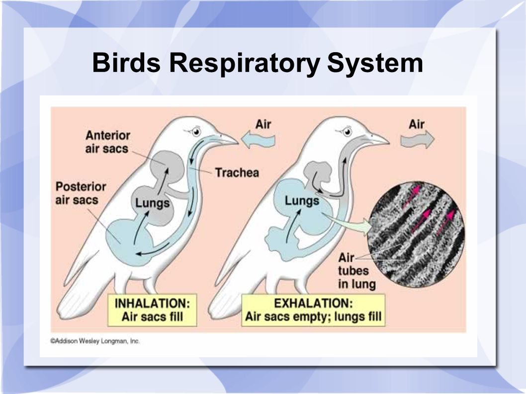 the respiratory system alligators vs birds Alligator respiratory system crocodilian lungs are distinct from bird lungs and are thought to have an alveolar-arterial blood gas exchange however, the topography of the intrapulmonary bronchus and of the first bronchi is similar in birds and crocodilians.