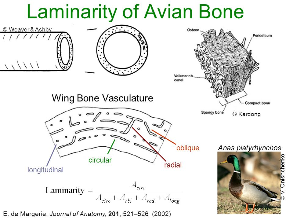 Avian Materials And Structures Cornified And Calcified Ppt Video