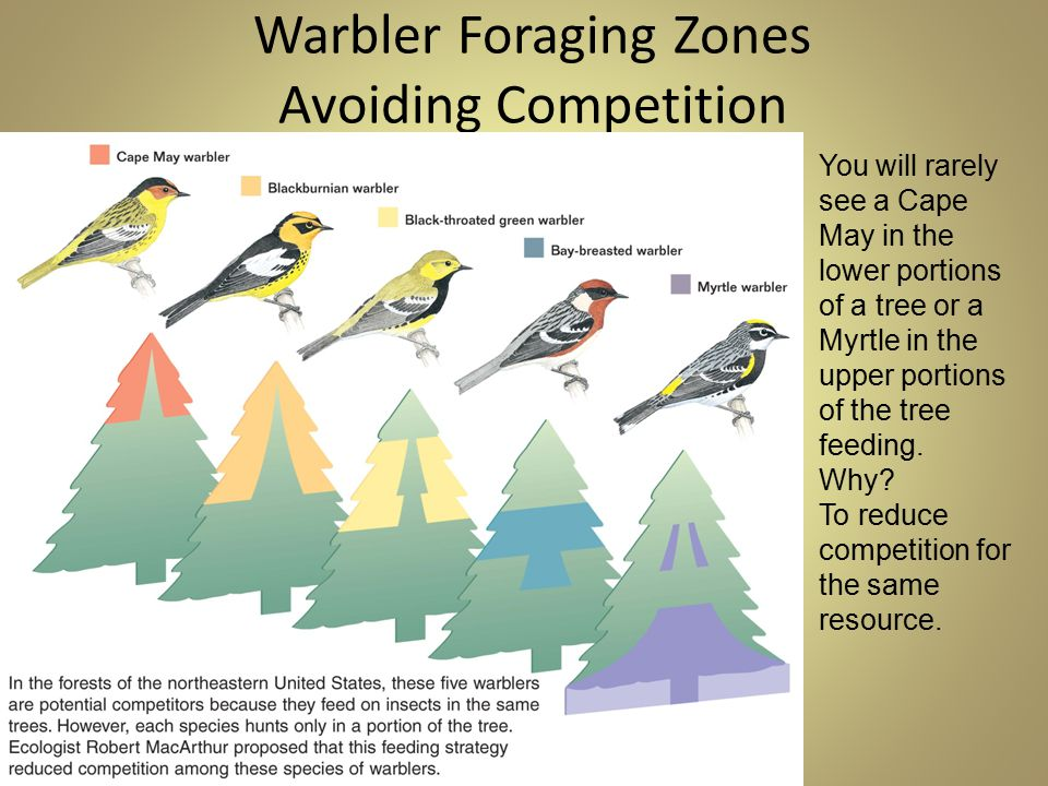 Warbler Foraging Zones Avoiding Competition